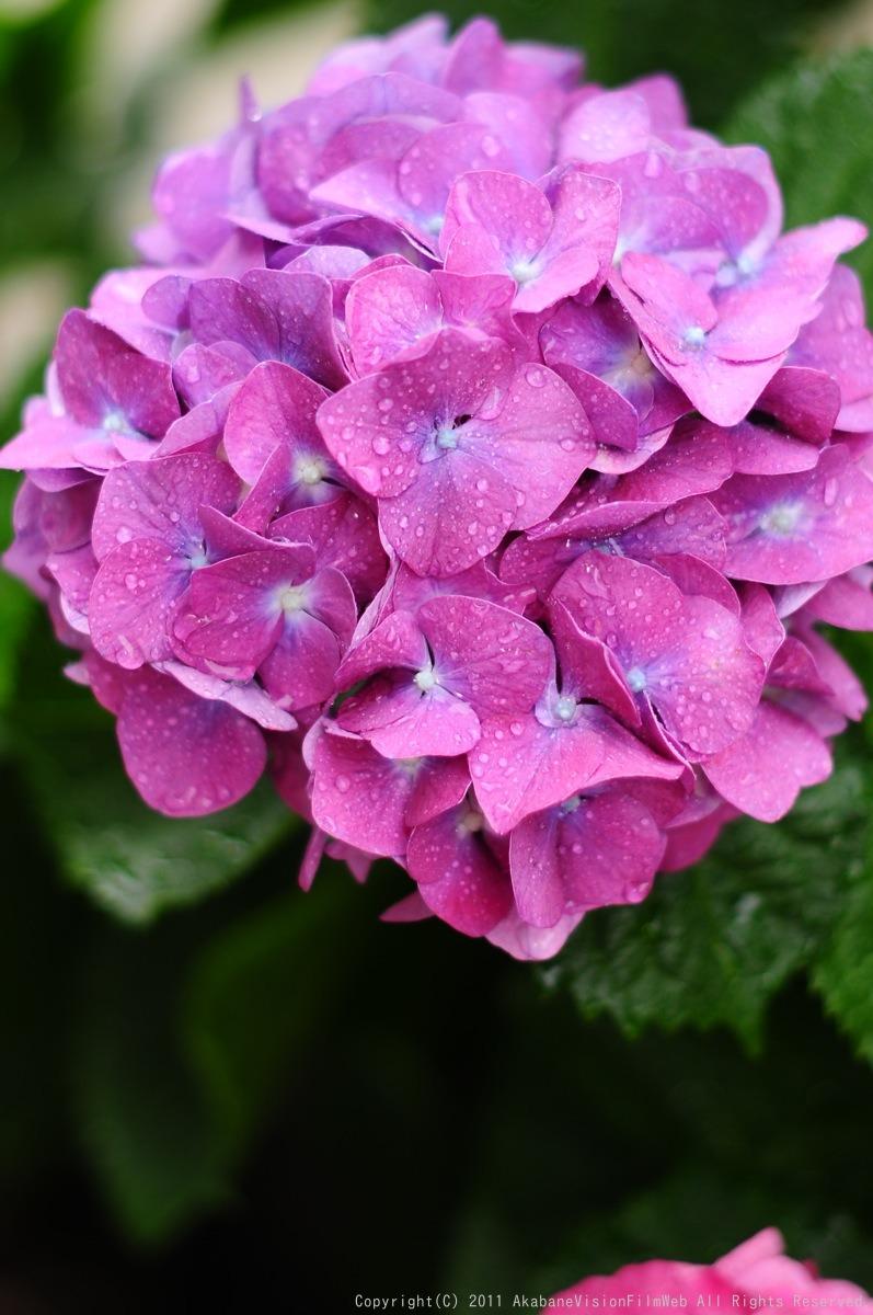 あじさい 紫陽花 アジサイ_b0065730_1885168.jpg