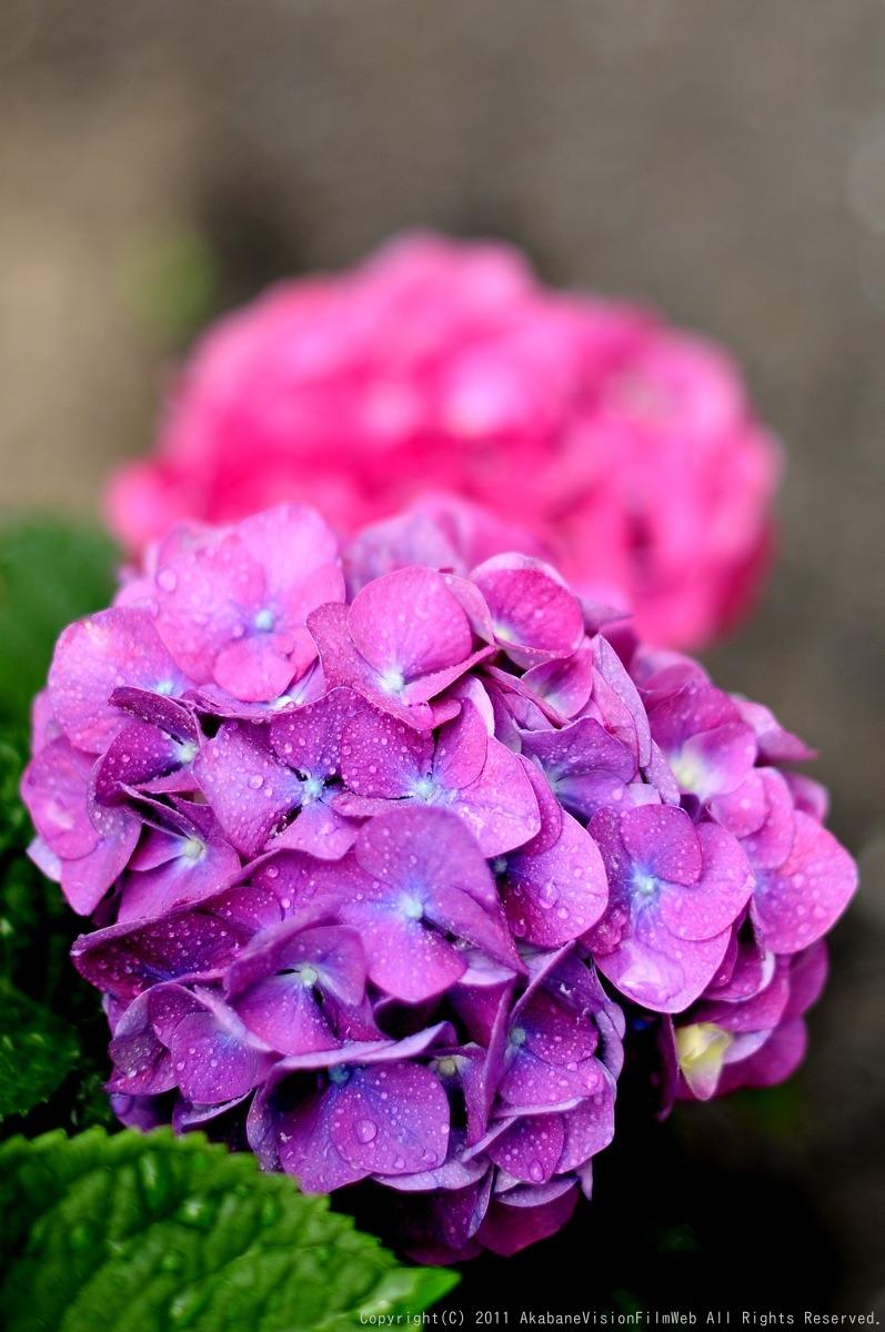 あじさい 紫陽花 アジサイ_b0065730_1891499.jpg