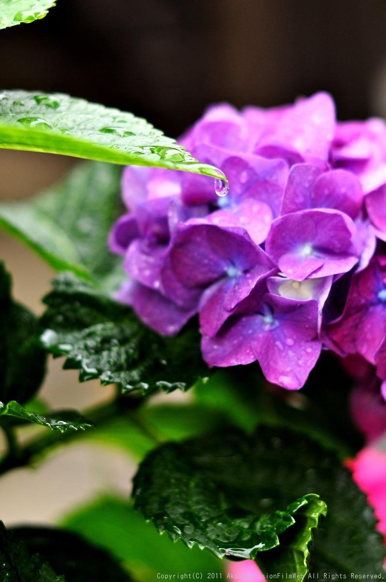 あじさい 紫陽花 アジサイ_b0065730_1892853.jpg