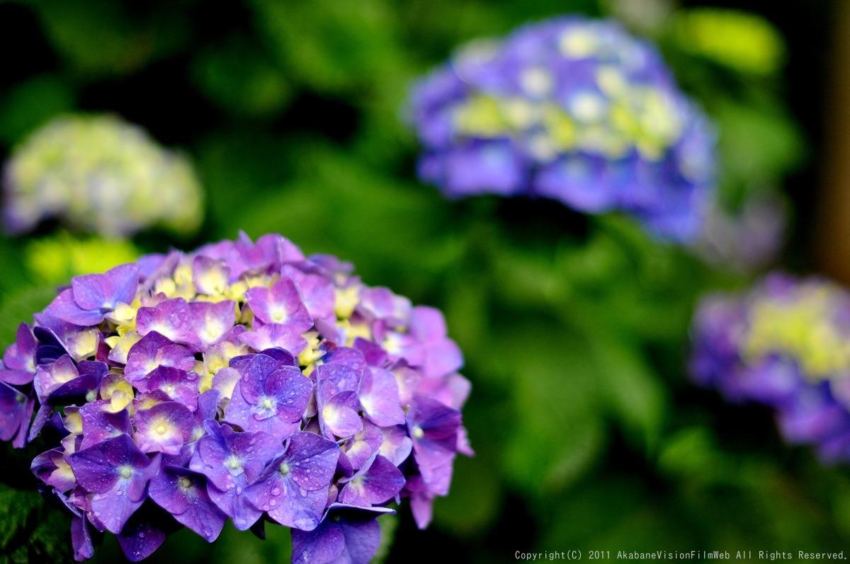 あじさい 紫陽花 アジサイ_b0065730_1895947.jpg