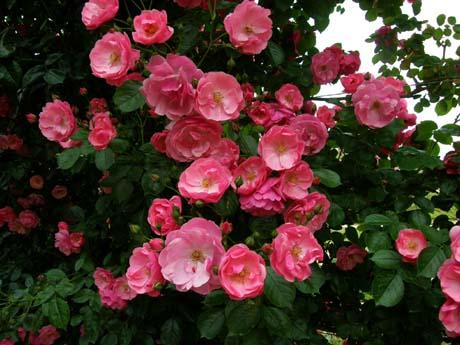バラの回廊(ハイジの村)_d0127634_19463898.jpg