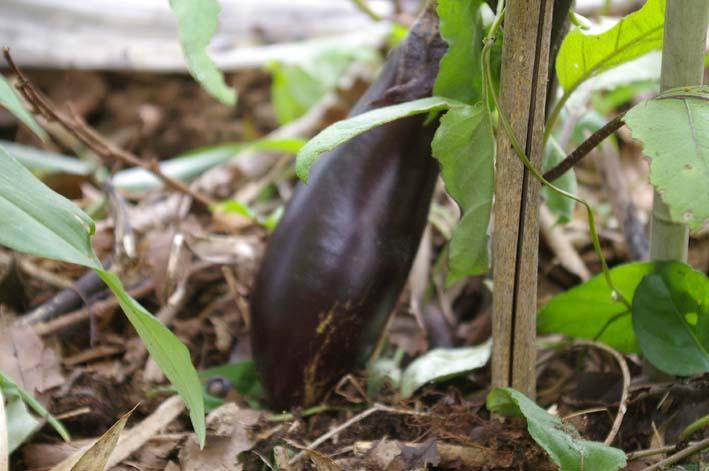 裏庭に植えたナスを今夏、初収穫(2011・6・16)_c0014967_10595048.jpg