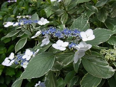 葉の縁が白い紫陽花