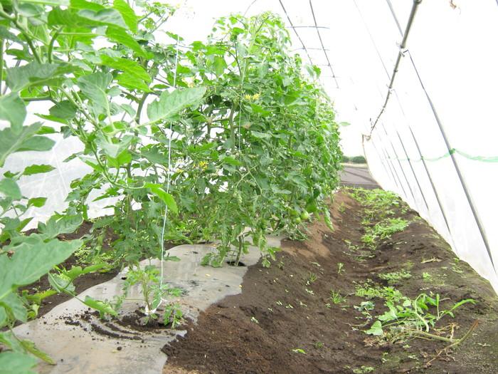 トマトは順調_d0225575_11543650.jpg