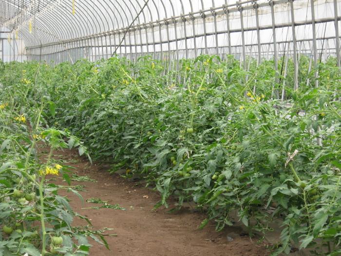 トマトは順調_d0225575_1224762.jpg