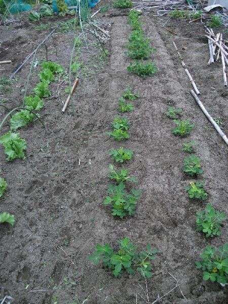 カボチャ、空中栽培用ネット張りと山ホウレンソウの種蒔き_f0018078_17101239.jpg
