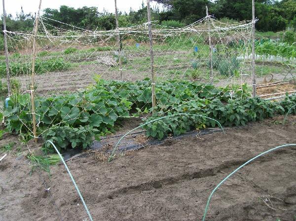 カボチャ、空中栽培用ネット張りと山ホウレンソウの種蒔き_f0018078_178147.jpg