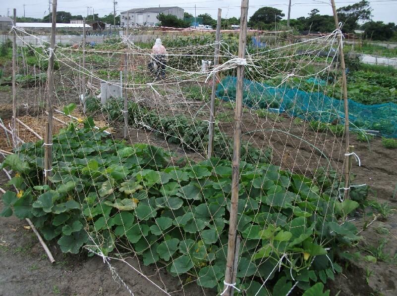 カボチャ、空中栽培用ネット張りと山ホウレンソウの種蒔き_f0018078_1783599.jpg