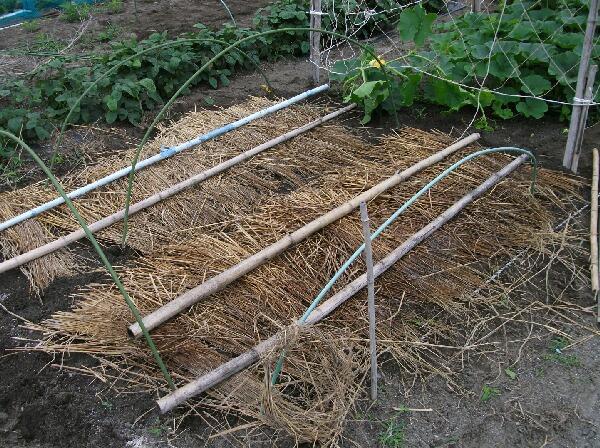 カボチャ、空中栽培用ネット張りと山ホウレンソウの種蒔き_f0018078_1791090.jpg