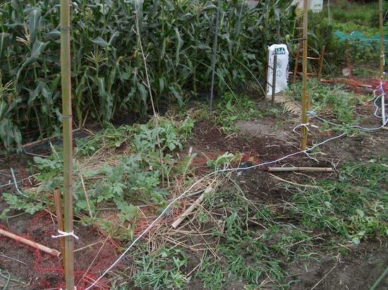 カボチャ、空中栽培用ネット張りと山ホウレンソウの種蒔き_f0018078_1793134.jpg