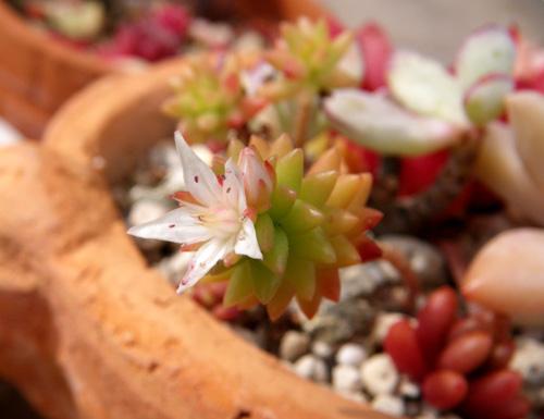 今咲いている多肉植物の花(^^)v_a0136293_18141033.jpg