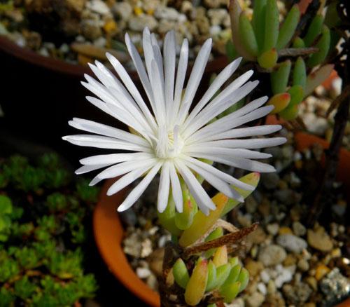 今咲いている多肉植物の花(^^)v_a0136293_18214342.jpg