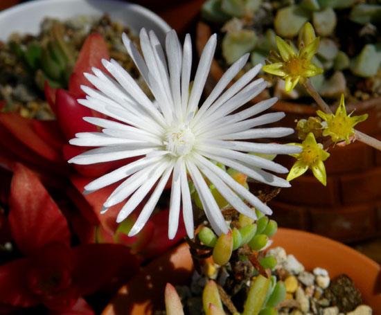 今咲いている多肉植物の花(^^)v_a0136293_18222853.jpg