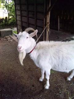 山羊のいる蕎麦屋_a0103940_12474684.jpg