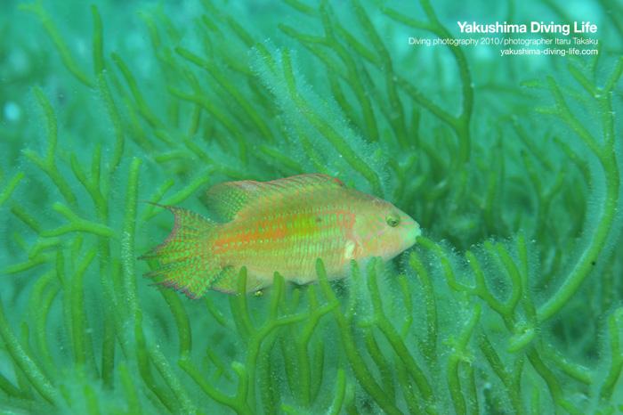 海藻とタコベラ_b0186442_974731.jpg