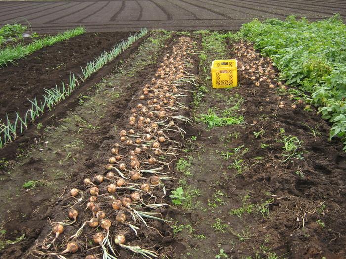 タマネギの収穫_d0225575_22503463.jpg