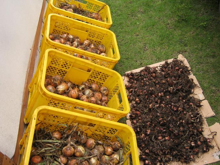 タマネギの収穫_d0225575_22591219.jpg