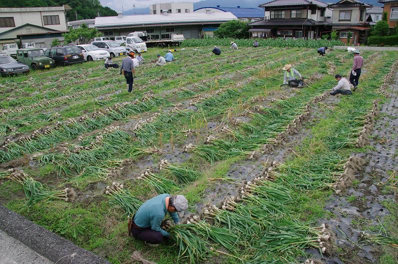 ニンニクの収穫_f0163491_2114743.jpg