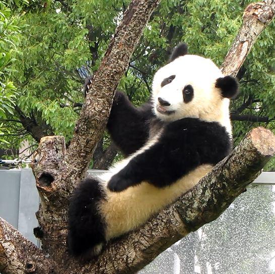 パンダ、大きくなってた!_b0064176_19215362.jpg