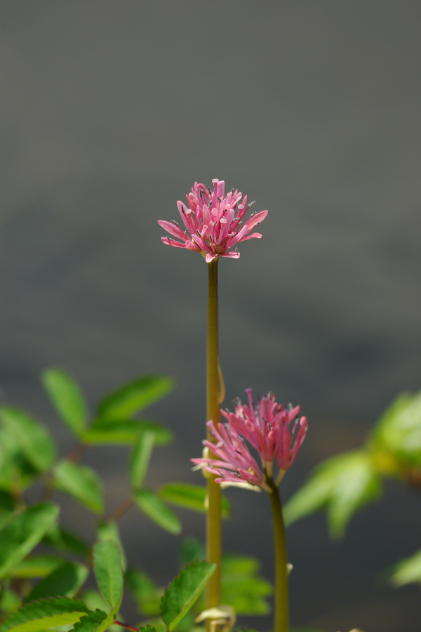 初夏の湿原に咲く-ショウジョウバカマ-_e0051186_20282590.jpg