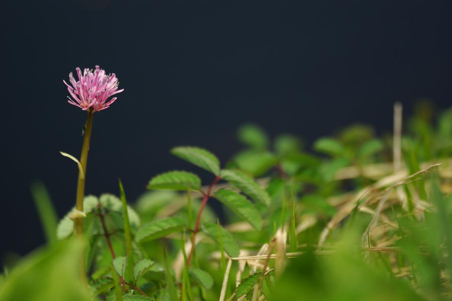初夏の湿原に咲く-ショウジョウバカマ-_e0051186_20283590.jpg