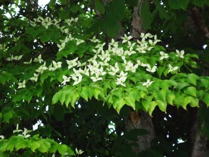 白い花_f0227395_15443346.jpg
