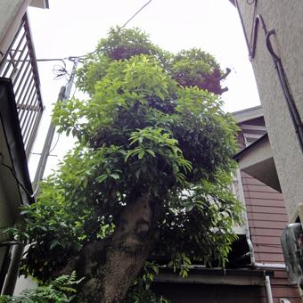 1・「タブの木のある家」の改修工事が進んでいます。_c0195909_1855873.jpg