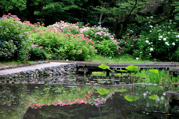 西洋アジサイMasja 植物園5_e0048413_21155249.jpg