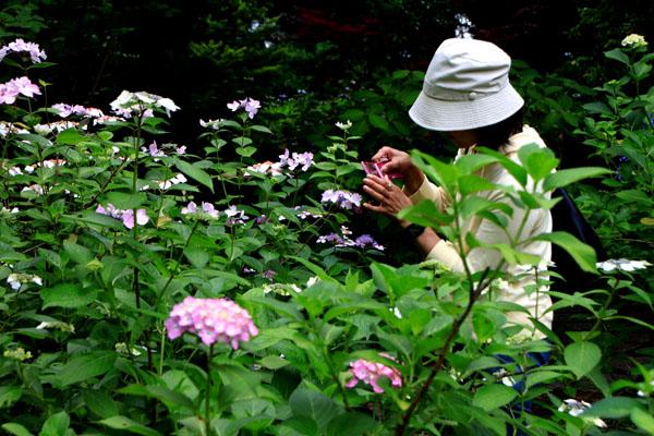 西洋アジサイMasja 植物園5_e0048413_21165498.jpg