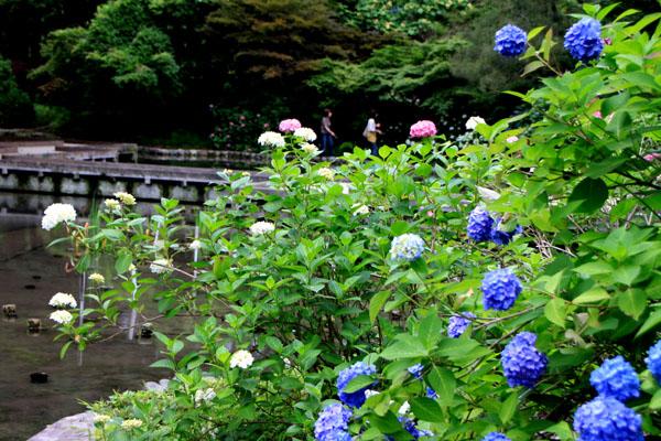 西洋アジサイMasja 植物園5_e0048413_2116720.jpg