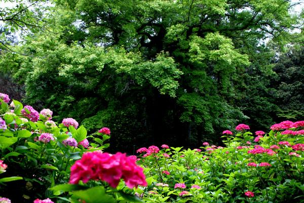 西洋アジサイMasja 植物園5_e0048413_21171390.jpg