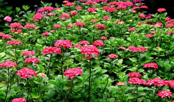 西洋アジサイMasja 植物園5_e0048413_21172726.jpg