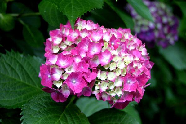 西洋アジサイMasja 植物園5_e0048413_21175747.jpg