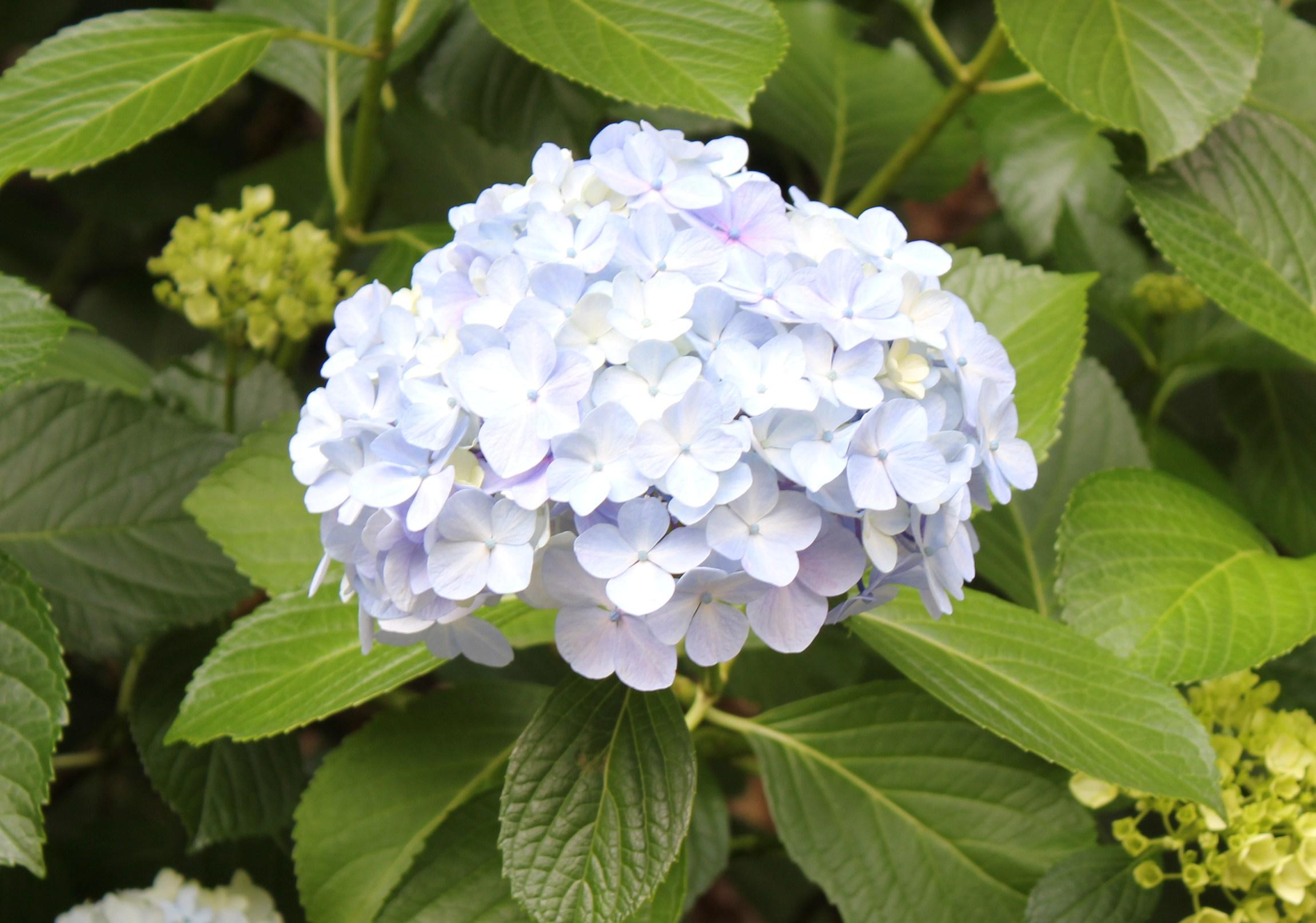 紫陽花の季節_f0155118_7421490.jpg