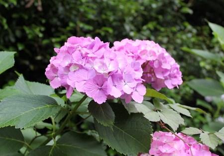 紫陽花の季節_f0155118_7433466.jpg