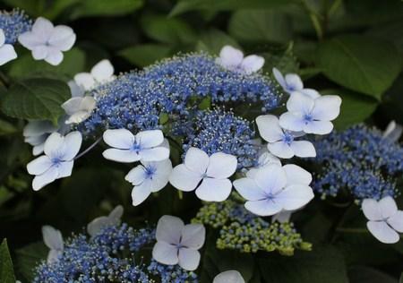 紫陽花の季節_f0155118_7434388.jpg