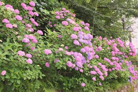 紫陽花の季節_f0155118_7442112.jpg