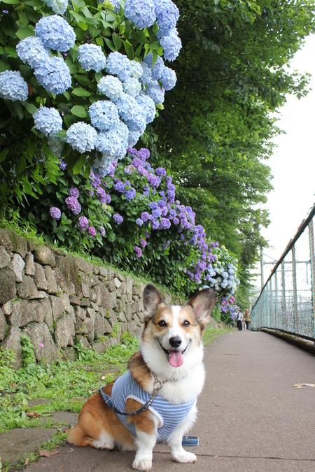 紫陽花の季節_f0155118_7445351.jpg