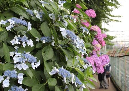 紫陽花の季節_f0155118_7451330.jpg