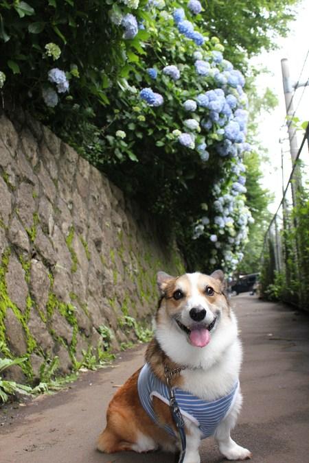 紫陽花の季節_f0155118_7472196.jpg