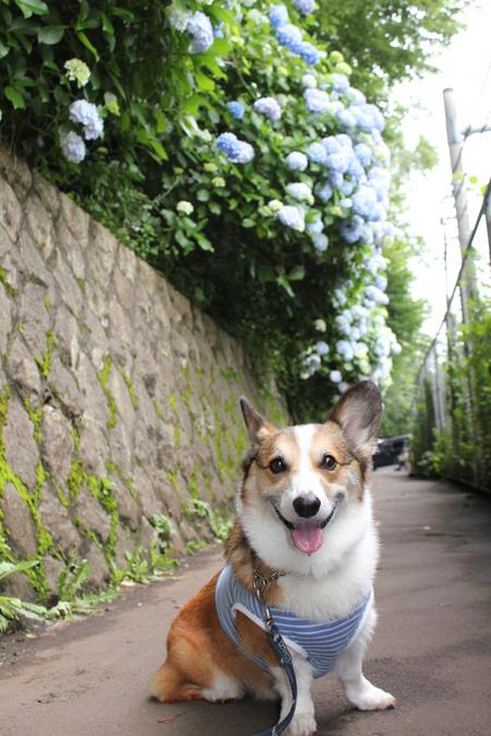紫陽花の季節_f0155118_7474877.jpg