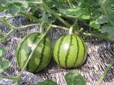 タマネギ収穫_c0063348_812034.jpg
