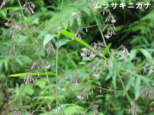 H23年6月度植物調査_c0108460_22234530.jpg