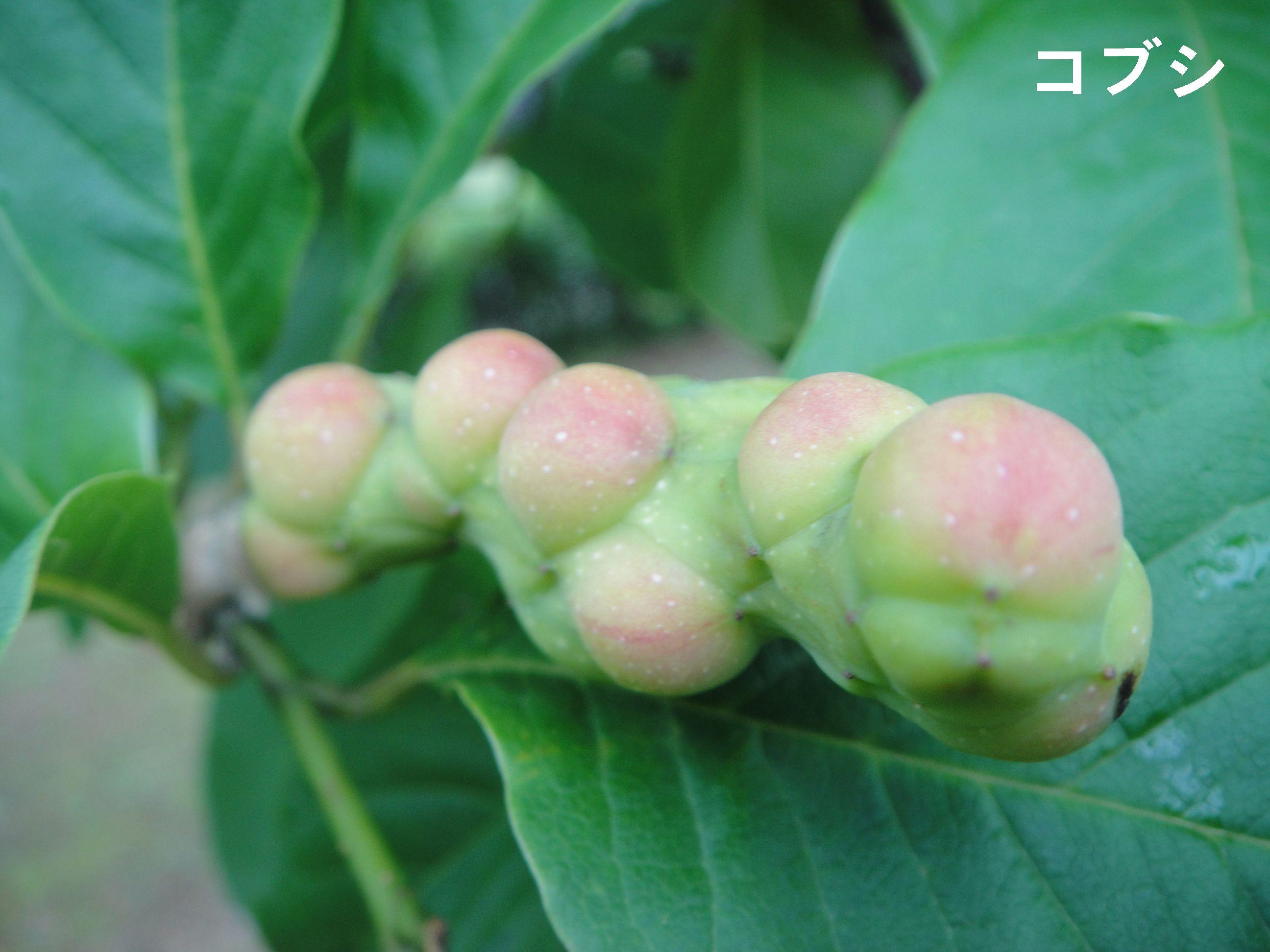 H23年6月度植物調査_c0108460_22242437.jpg
