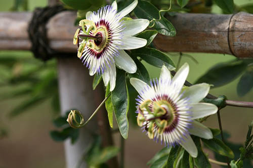 トケイソウ、テリハノイバラが咲きました。_f0030085_21253246.jpg