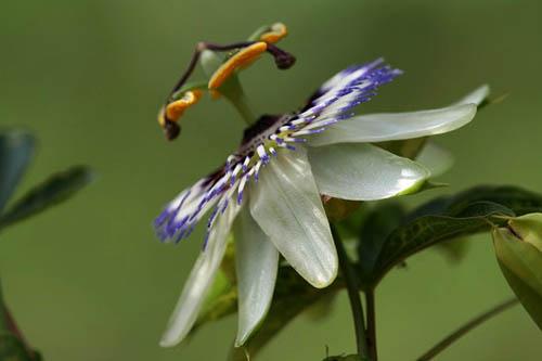 トケイソウ、テリハノイバラが咲きました。_f0030085_21255680.jpg