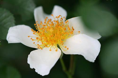 トケイソウ、テリハノイバラが咲きました。_f0030085_21291328.jpg