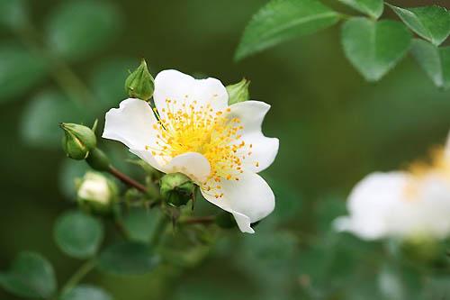 トケイソウ、テリハノイバラが咲きました。_f0030085_21292862.jpg