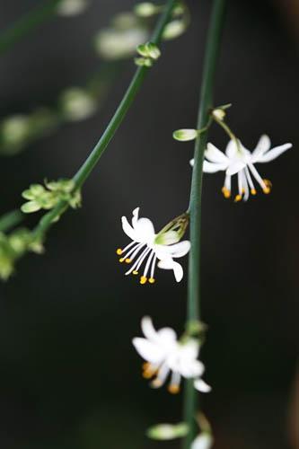 トケイソウ、テリハノイバラが咲きました。_f0030085_21353124.jpg