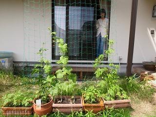 緑のカーテンダービー キュウリがトップ_f0059988_18543477.jpg